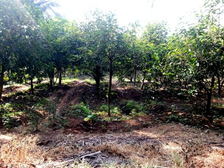 Horticulture plantations along the east-west transect from Rajodi to Arnala, Virar